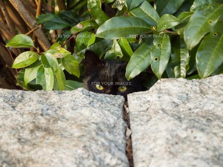隠れた黒猫の素材 [FYI00049169]