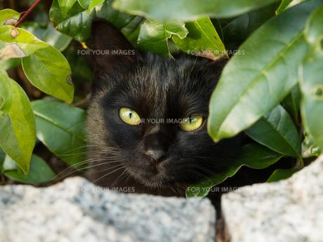 隠れた黒猫の素材 [FYI00049179]