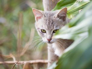 カメラ目線の猫の写真素材 [FYI00049189]