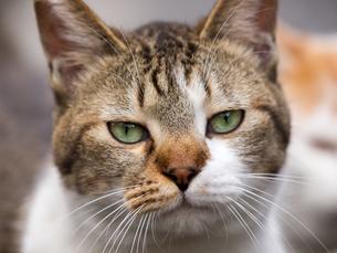カメラ目線の猫の写真素材 [FYI00049204]