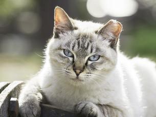 カメラ目線の猫の写真素材 [FYI00049209]