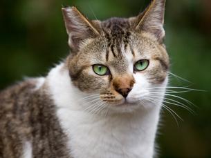 カメラ目線の猫の写真素材 [FYI00049210]
