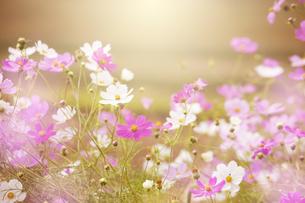 秋桜の素材 [FYI00049340]