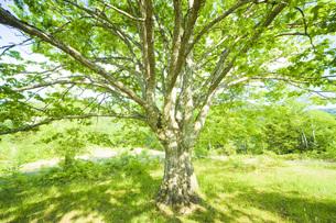 ミズナラの木の写真素材 [FYI00049515]