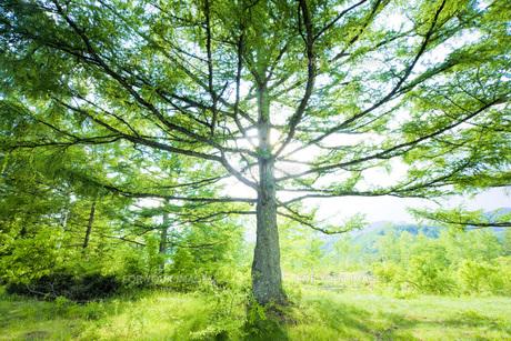 新緑のカラマツの写真素材 [FYI00049516]