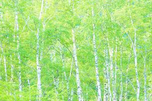 新緑の白樺林の写真素材 [FYI00049526]