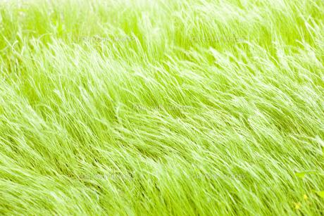 風の草原の写真素材 [FYI00049687]