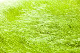 風の草原の写真素材 [FYI00049701]