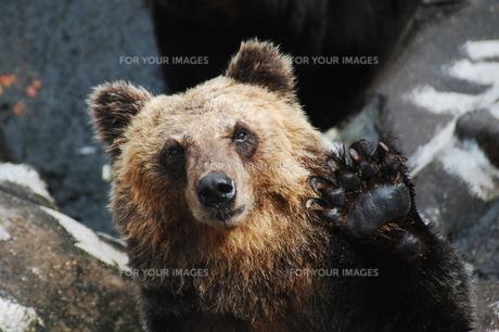 クマの素材 [FYI00050427]