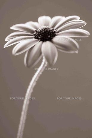 花の素材 [FYI00050545]