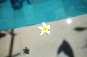 水に浮かぶプルメリアの写真素材 [FYI00050781]
