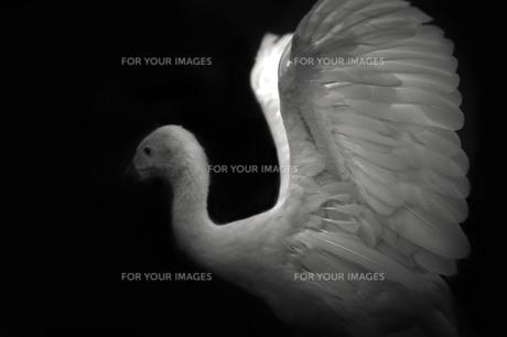 鳥の翼の素材 [FYI00050805]