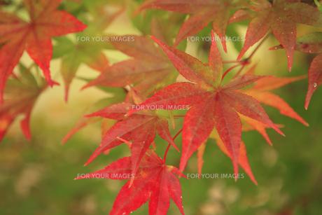 長野安曇野の紅葉の素材 [FYI00050832]