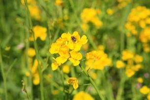 菜の花とミツバチの写真素材 [FYI00050833]