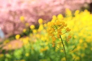 菜の花とサクラの写真素材 [FYI00050834]