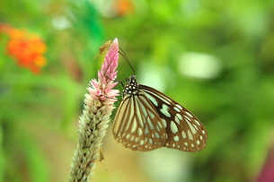 西表島の蝶の写真素材 [FYI00050836]