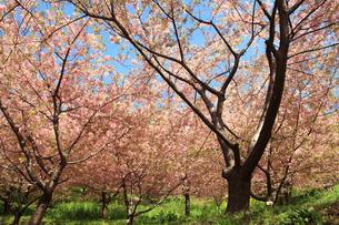 河津桜の写真素材 [FYI00050856]