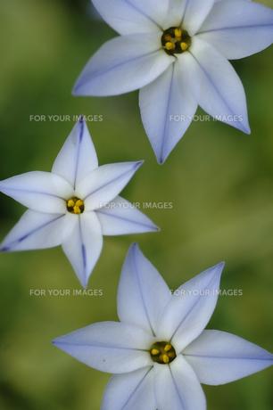 水色の花 ハナニラの素材 [FYI00050863]