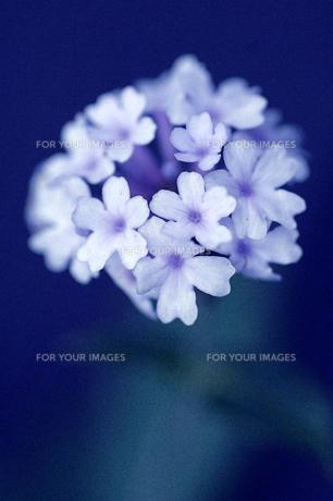 水色の花の素材 [FYI00050900]