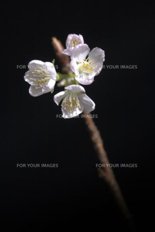 桜1の素材 [FYI00050952]