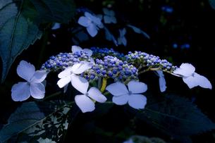 紫陽花1の写真素材 [FYI00050960]
