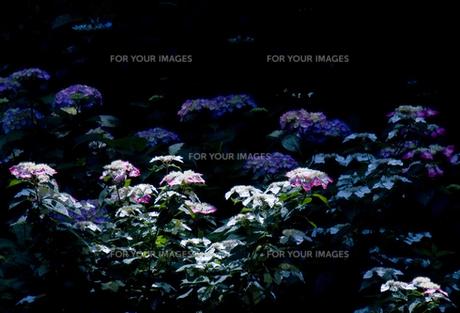 紫陽花3の写真素材 [FYI00050966]