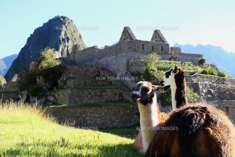 ペルー リャマの写真素材 [FYI00051048]