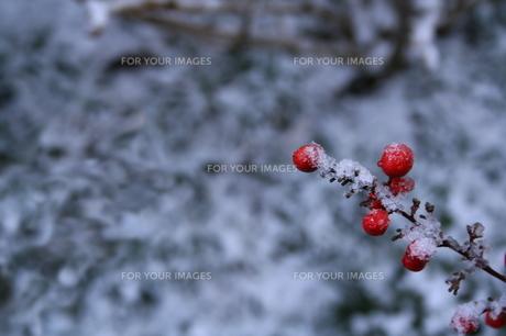 雪の日の南天の素材 [FYI00051073]