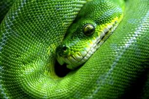 蛇の素材 [FYI00051098]