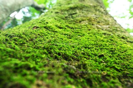 大木に生える苔の写真素材 [FYI00051295]