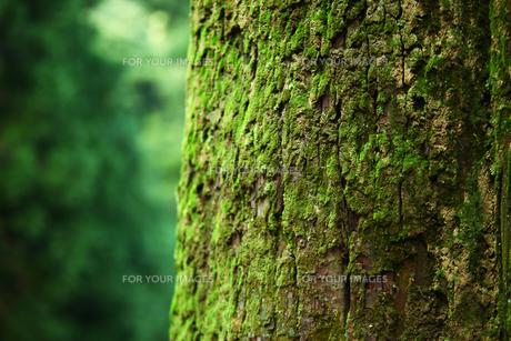 大木の苔の写真素材 [FYI00051342]