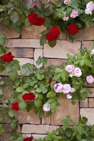 バラの壁の写真素材 [FYI00051352]