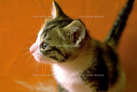 子猫の横顔の素材 [FYI00051400]