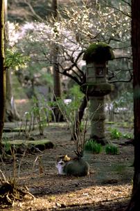 寺の猫の素材 [FYI00051533]