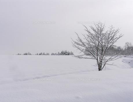雪原の木の素材 [FYI00051579]
