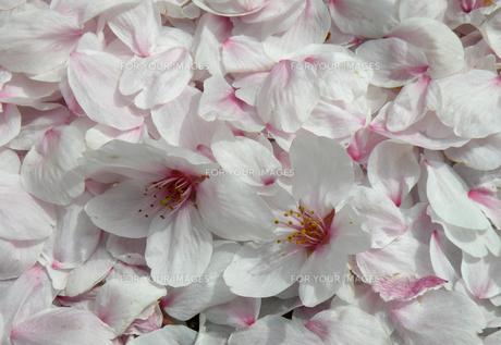 散った桜の素材 [FYI00051621]