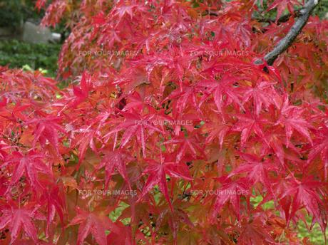 雨に濡れた紅葉の素材 [FYI00051632]