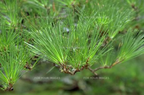 松の葉の素材 [FYI00051694]
