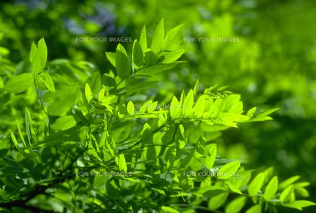 新緑の素材 [FYI00051695]