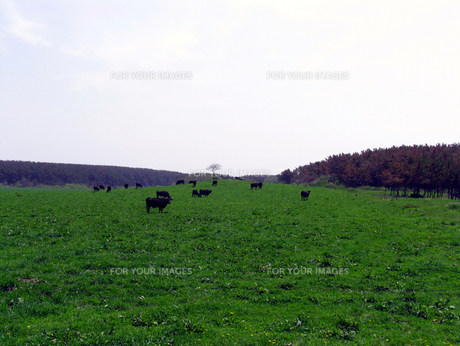 牧場と牛の素材 [FYI00051803]