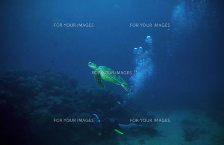 ダイバーとウミガメの写真素材 [FYI00051823]