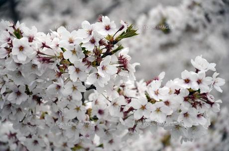 桜の素材 [FYI00052331]