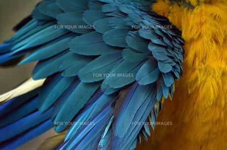 オウムの羽の写真素材 [FYI00052467]