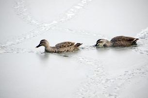 冬の池の鴨の素材 [FYI00052637]