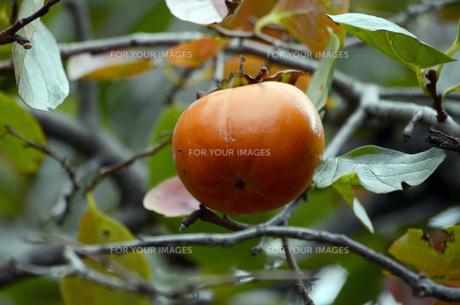 柿の実の素材 [FYI00052645]