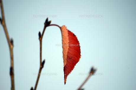秋の桜の葉の素材 [FYI00052656]