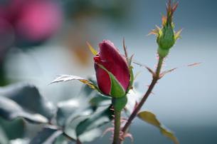 薔薇の素材 [FYI00052932]