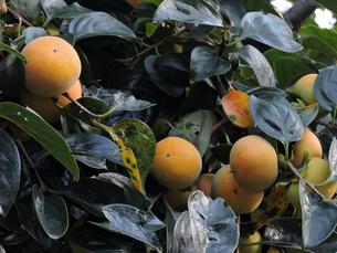 柿の実の写真素材 [FYI00052939]