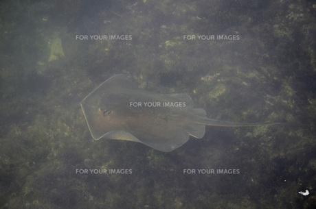 泳ぐエイの写真素材 [FYI00052960]
