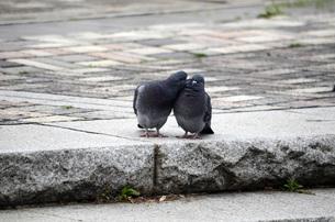 鳩のカップルの写真素材 [FYI00052975]